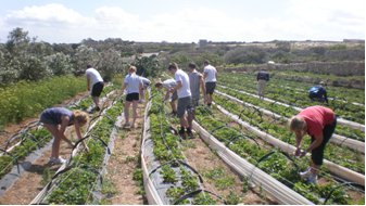 Malta Strawberry Picking